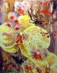 Freckled Phalaenopsis